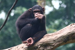 Chimpanzee. S are members of the Hominidae family, along with gorillas, humans, and orangutans. s split from human evolution about 6 million years ago and thus stock photography
