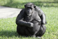 Chimpanzee. Making a funny face royalty free stock photo
