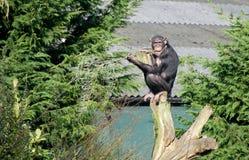 Chimpanzee. A chimpanzee sitting on a tree stump Royalty Free Stock Photography