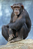 Chimpanzee Royalty Free Stock Photography