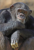 Chimpanzee. Close up Chimp with curious expression royalty free stock photos