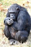 Chimpanzee. A Black Chimpu, Wildlife stock photography