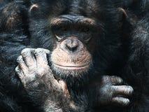 Chimpanzee. Wildlife portrait,outdoor shot stock image