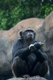 Chimpanzee. Picture taken at the zoo Stock Images