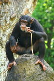 Chimpanzee. Sometimes colloquially chimp, is the common name for the two extant species of ape in the genus Pan. The Congo River forms the boundary between the stock photo