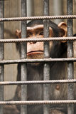 Chimpanzee. In cage close up royalty free stock image