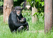 Chimpanzee. A chimpanzee sitting on the grass royalty free stock photos