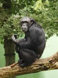 Chimpanzee. Relaxing on the tree in zoo (Czech republic - Pilsen royalty free stock images
