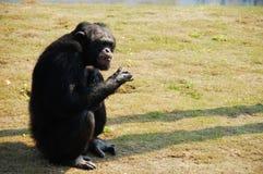 Chimpanzee. Troglodytes (5 years old stock photography