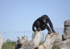 Chimpanzee. Eating chimpanzee branches on top of a tree royalty free stock images