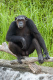 Chimpanzee. Stock Photos