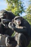 Chimpanzee. A chimpanzee facing the camera Stock Image