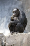 Chimpanzee Stock Photo