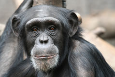 Chimpanzee. Portrait of a young chimpanzee Royalty Free Stock Photos