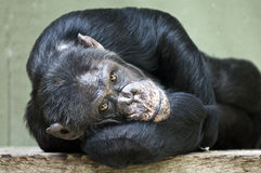 Chimpanzee. Resting in a zoo royalty free stock photo