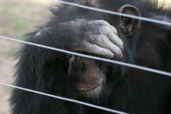 Chimpanzee. Chimp behind fence in a rehabilitation facility, shielding his face with a hand Stock Photos