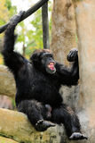 Chimpanzee. Sitting and laughing for the crowd of people in a South Florida zoo stock images