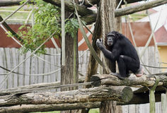 Chimpanzee. Big black chimpanzee in zoo royalty free stock image