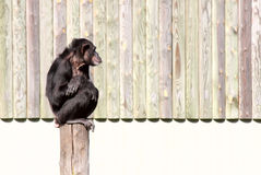 Chimpanzee. Sitting on a top of a tree trunk royalty free stock photography