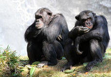 Chimpanzee. Two chimps sitting on grass pondering Stock Images