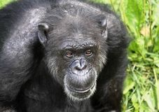 Chimpanzee. In nature during summer Stock Photos
