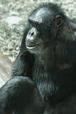 Chimpanzee. Alone adult chimp sitting and thinking Stock Photography