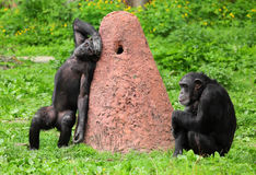 The chimpanzee. Two chimpanzee and termite anthill Stock Images