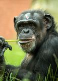 Chimpanzee. Chewing on a stalk of grass royalty free stock photo