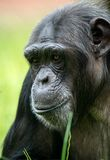 Chimpanzee. Profile close up against a green background stock images