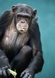 Chimpanzee. Staring out at the viewer against a blue background royalty free stock images