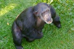 Chimpanzee. Happy chimpanzee Royalty Free Stock Images