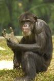 Chimpanzee. Close up photo portrait of a chimpanzee royalty free stock photo