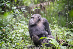 Chimpanzee. In the natural environment in Uganda, Africa royalty free stock image