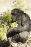 Chimpanzee. Just gather food, carrots and lettuce royalty free stock image