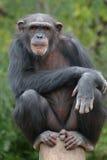 Chimpanzee. That chimpanzee was staring at me when I took this shot, taken in Biopark zoo (Fuengirola royalty free stock photography