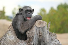 Chimpanzee. The adult chimpanzee sittting on the stub royalty free stock photos