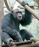 Chimpanzee 3. Portrait of nice chimpanzee smiling stock photo