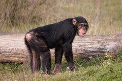 Chimpanzee Royalty Free Stock Photos