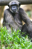 Chimpanzee. A family of Chimpanzees found together Royalty Free Stock Image