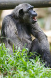 Chimpanzee. A family of Chimpanzees found together Royalty Free Stock Images