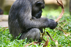 Chimpanzee. A family of Chimpanzees found together Stock Photos