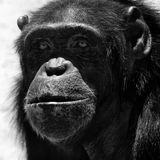 Chimpanzee. Portratit, black and white Stock Photo