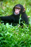 Chimpanzee. A family of chimpanzees found in the wild Royalty Free Stock Images