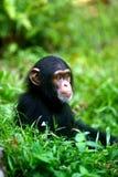 Chimpanzee. A family of chimpanzees found in the wild Royalty Free Stock Photos