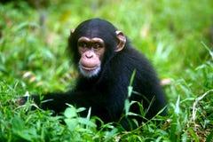Chimpanzee. A family of chimpanzees found in the wild Stock Image