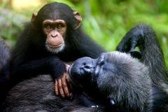 Chimpanzee. A family of chimpanzees found in the wild Stock Photos