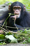 Chimpanzee. A family of chimpanzees found in the wild Royalty Free Stock Image