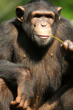 Chimpanzee. A family of chimpanzees found in the wild Stock Images