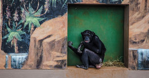 Chimpanzee Stock Photos