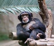 Free Chimpanzee Stock Photography - 39032542
